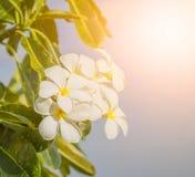 Plumaria Στοκ Φωτογραφία