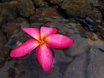 Plumaria blomma Royaltyfri Bild