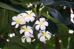 Plumaria-Blume Lizenzfreie Stockfotos