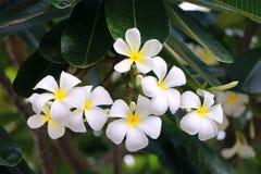 Plumaria-Blume Stockfoto