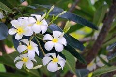Plumaria-Blume Stockbild