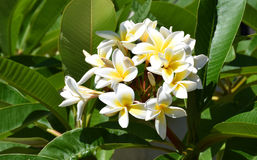 Free Plumaria Flower Royalty Free Stock Images - 74432489