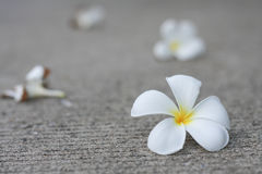 Plumaria flowers. Plumeria flower are well know in asian Royalty Free Stock Image