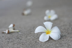 Plumaria flowers. Plumeria flower are well know in asian Stock Image