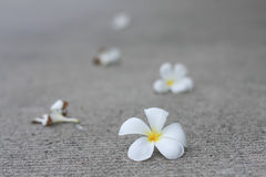 Plumaria kwiaty Zdjęcia Stock