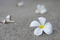 Plumaria kwiaty Obraz Royalty Free