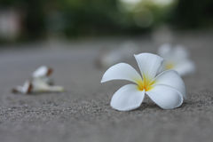 Plumaria kwiaty Obrazy Royalty Free