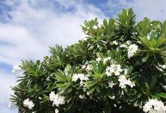 Plumaria kwiaty Zdjęcia Royalty Free