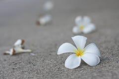 Plumaria kwiaty Obraz Stock