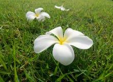 Plumaria kwitnie Zdjęcie Stock