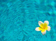 Plumaria on water. A plumaria or frangipani flower floating on water Royalty Free Stock Image