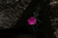 Plumarius гвоздики, розовая гвоздика стоковые фото