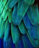 Plumas azules/del verde del Macaw Foto de archivo libre de regalías