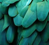 Plumas azules/del verde del Macaw Imagenes de archivo