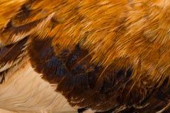 Plumas brillantes hermosas del gallo de las plumas del fondo Fotos de archivo