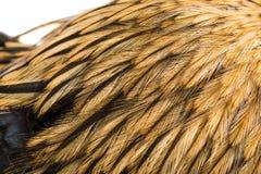 Plumas brillantes hermosas del gallo de las plumas del fondo Fotografía de archivo