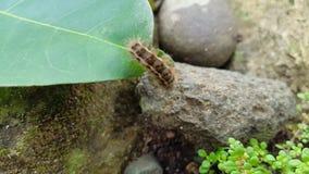 Plumas de Caterpillar, el precursor de una mariposa hermosa almacen de video