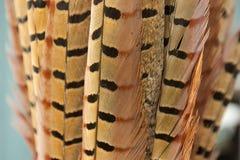 Plumas de cola del faisán Imágenes de archivo libres de regalías
