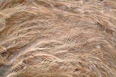 Plumas de la avestruz Imágenes de archivo libres de regalías