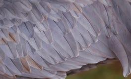 Plumas de la grúa de Sandhill Foto de archivo