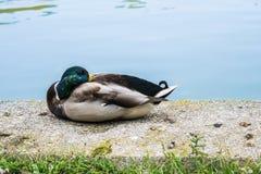 Plumas de la limpieza del pato al lado de un lago Fotografía de archivo