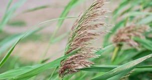 Plumas de Reed que se sacuden en el viento almacen de metraje de vídeo