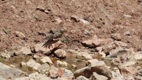 Plumas de sequía de Ortolan almacen de video