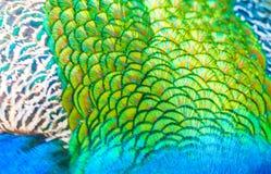 Plumas de un pavo real masculino adulto fotos de archivo libres de regalías