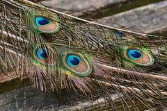 Plumas de una cola del ` s del pavo real Foto de archivo libre de regalías
