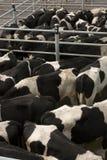 Plumas de vaca Foto de archivo