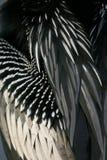Plumas del Anhinga Fotos de archivo