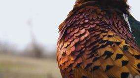 Plumas del meneo masculino del pájaro del faisán en un viento al aire libre en un campo