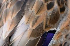 Plumas del pato Foto de archivo libre de regalías