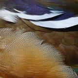 Plumas del pato de mandarín Imagenes de archivo