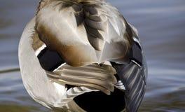 Plumas del pato del pato silvestre Fotografía de archivo libre de regalías