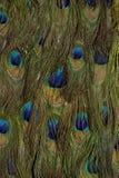 Plumas del pavo real Imágenes de archivo libres de regalías