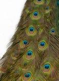 Plumas del pavo real Fotografía de archivo libre de regalías