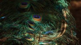 Plumas del pavo real foto de archivo libre de regalías