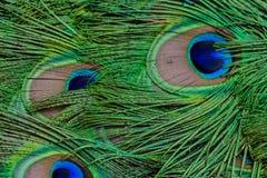 Plumas 2 del pavo real Fotos de archivo libres de regalías