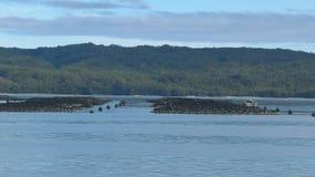 Plumas del salmón atlántico en el puerto del macquarie, Tasmania metrajes