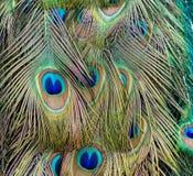 Plumas hermosas del pavo real Fotos de archivo libres de regalías