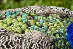 Plumas hermosas del pavo real como fondo Imagen de archivo