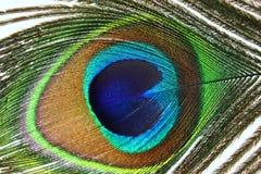 Plumas hermosas del pavo real en el fondo blanco Imagen de archivo