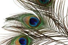 Plumas hermosas del pavo real en el fondo blanco Imagenes de archivo