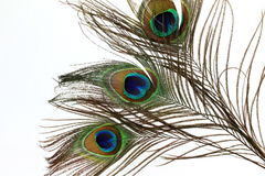 Plumas hermosas del pavo real en el fondo blanco Imágenes de archivo libres de regalías