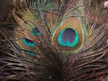 Plumas hermosas del ` s del pavo real con colores azules y verdes Foto de archivo