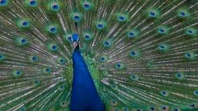 Plumas llenas del plumaje del pavo real masculino grande en llamada de acoplamiento ruidosa de la exhibición almacen de metraje de vídeo