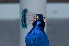 Plumas principales azules vivas brillantes/cresta de un cristatus del pavo real/del pavo, cierre para arriba fotos de archivo libres de regalías