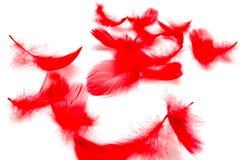 Plumas rojas aisladas en el fondo blanco Imágenes de archivo libres de regalías