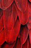 Plumas rojas del Macaw Foto de archivo